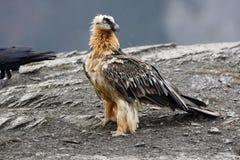 Lammergeier or lammergeyer or bearded vulture, Royalty Free Stock Photos