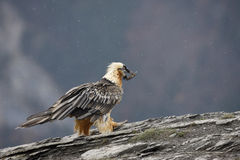 Lammergeier or lammergeyer or bearded vulture, Royalty Free Stock Photo