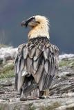 Lammergeier or lammergeyer or bearded vulture, Stock Image