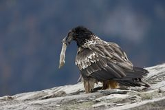 Lammergeier or lammergeyer or bearded vulture, Royalty Free Stock Photography