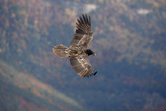 Lammergeier or lammergeyer or bearded vulture, Royalty Free Stock Images