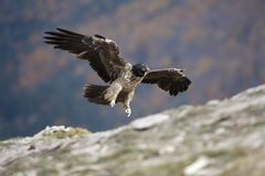 Lammergeier or lammergeyer or bearded vulture, Stock Photos