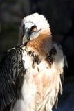 Lammergeyer или бородатый хищник Стоковые Фото