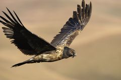Lammergeyer or Bearded Vulture Royalty Free Stock Image