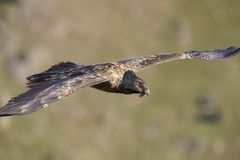 Lammergeyer or Bearded Vulture Royalty Free Stock Photos