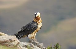 Lammergeyer or Bearded Vulture Stock Images