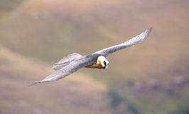 Lammergeyer or Bearded Vulture Royalty Free Stock Images