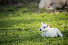 Lammet i bygd, brecon leder fotografering för bildbyråer