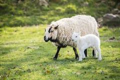 Lammet med modern i bygd, brecon leder royaltyfria foton