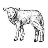 Lammet räcker teckningen Arkivbild