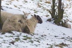 Lammet som ligger på moderfår i ett kallt fält under vinter, snöar Royaltyfri Bild