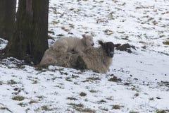 Lammet som ligger på moderfår i ett kallt fält under vinter, snöar Royaltyfri Foto