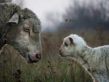 Lammfamilie Lizenzfreie Stockfotografie