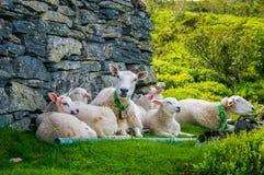 Lammfamilie Stockbild