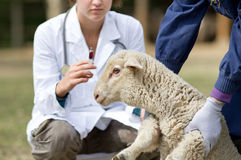 Lammvaccinering Arkivfoto