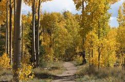?lamo tremedor amarelo em Colorado imagem de stock royalty free