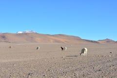 Lamor - eller alpacas - i en öken av Bolivia Arkivbild