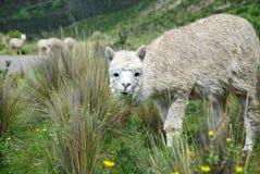 Lamor i den Arequipa regionen royaltyfria foton