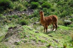 Lamor i den Arequipa regionen royaltyfria bilder