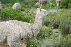 Lamor i den Arequipa regionen royaltyfri fotografi