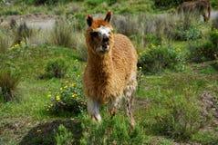Lamor i den Arequipa regionen arkivfoton
