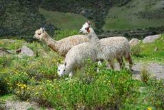 Lamor i den Arequipa regionen arkivfoto