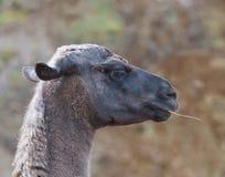 Lamor i det naturligt parkerar av norden av Spanien arkivbilder
