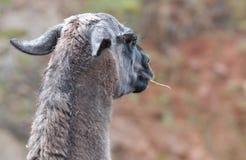 Lamor i det naturligt parkerar av norden av Spanien arkivbild