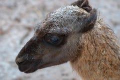 Lamor i det naturligt parkerar av norden av Spanien arkivfoton