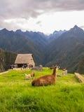 Lamor i Machu Picchu, Peru Arkivbild