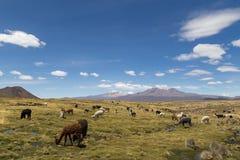 Lamor och Alpacas i den Sajama nationalparken Royaltyfri Fotografi