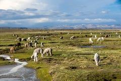 Lamor och alpacas, Peru Royaltyfri Fotografi