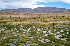 Lamor och alpacasskrubbsår i bergen Arkivfoton
