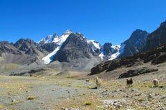 Lamor på bergstenar Arkivfoton