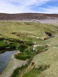 Lamor på gräset runt om en liten ström i altiplano Arkivfoto