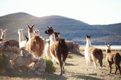 Lamor på lantgården i den Altiplano platån, Bolivia arkivbilder