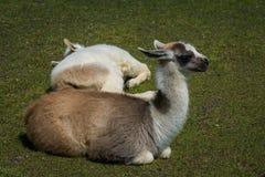 Lamor som vilar på gräsmattan royaltyfri bild