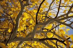 Álamos tembloses del otoño Imágenes de archivo libres de regalías