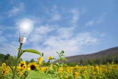 Lamp bulb sunflower on sunflower field Stock Photo