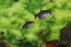Lamp Eye Tetras  703966 Stock Images