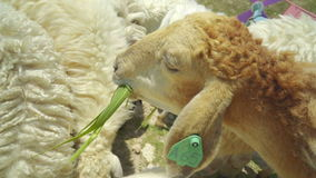 Lamp feeding deliciously with grass stock footage
