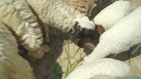 Lamp feeding deliciously with grass, top view stock video footage
