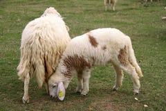 Lamp and Sheep royalty free stock photo