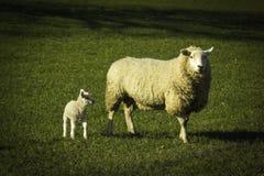 Lampada della primavera con l'erba verde della pecora fotografie stock libere da diritti
