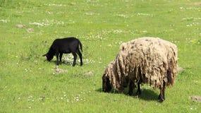 Lampada di belato e pecore Graze With Happiness della madre Immagine Stock Libera da Diritti