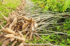 Lampadina della manioca ed albero della manioca su terra Immagini Stock