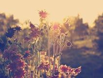 Lampadina di Aquilegia del sole di sera Fotografie Stock