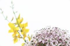 Lampadina porpora dell'allium e scopa gialla, su bianco Immagini Stock Libere da Diritti
