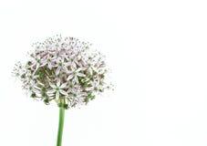 Lampadina porpora dell'allium, su bianco Fotografia Stock