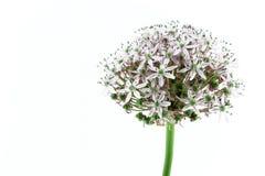 Lampadina porpora dell'allium, su bianco Fotografia Stock Libera da Diritti